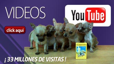 chihuahuas, videos,youtube