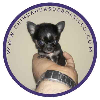 HOW TO IDENTIFITY TEACUP CHIHUAHUA DOG
